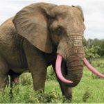 3fd06860-3565-11e5-b10c-b71f5e9bce23_pink-elephant-tusks.png.cf